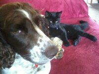 Best of friends, one of my springers, Alfie and his sister Millie English Springer Spaniel, Love Pet, Spaniels, Animal Pictures, Best Friends, Cute Animals, Creatures, Pets, Black