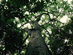 Un albero del Costarica wanderlustblog.link/LaMortella
