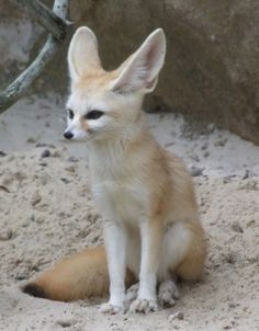Fennec Fox 🐺Vulpes zerda 🐺 Raposa do deserto Cute Funny Animals, Funny Animal Pictures, Cute Baby Animals, Animals And Pets, Cool Pets To Have, Fennec Fox Pet, Fox Images, Foxes Photography, Cute Fox