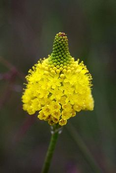 Bulbinella triquetra ~ This fantastically shaped and attractive yellow flower belongs to Bulbinella triquetra. This plant grows on damp sand and granite and flowers in spring. It is native to South Africa.