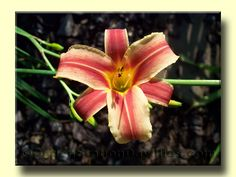 Beautiful! Love daylilies...my new addiction. This one is from Ogden Station Daylilies