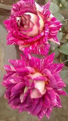 Advice For Growing Beautiful Flowers, Produce And Other Plants - Useful Garden Ideas and Tips Exotic Flowers, My Flower, Pretty Flowers, Rose Of Sharon, Coming Up Roses, Hybrid Tea Roses, Pink Garden, Rose Wallpaper, Blooming Flowers