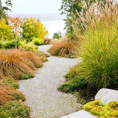 This path winds through coppery New Zealand hair sedge (Carex tenuiculmis 'Cappuccino') and 'Georgia Blue' veronica. Miscanthus sinensis fans out at right