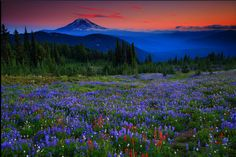 Wildflowers and Mt Adams at Sunset From Snowgrass Flats in The Goat Rocls Wilderness of Washington https://www.flickr.com/photos/randalljhodgesphotography/