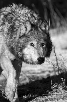 Howls In The Woods — wolfsheart-blog: Wolf sneaking by wildlife fine...