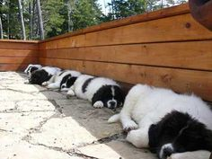 Newfoundland puppies. swoon