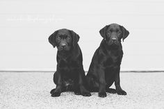The cutest brothers I ever did see! Pet Photographer, Dog Photography, Labs, Melbourne, Labrador Retriever, Cute, Animals, Labrador Retrievers, Animales