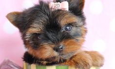 Teacup Yorkie Puppy by TeaCups Puppies & Boutique!