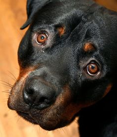 Rottweiler - Best Guardian Dog: Rottweiler saves the life of a 4-year-old boy atta...