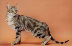 Ezek a legritkább macskafajták | NLCafé