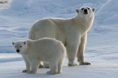 From http://spirit-animals.com/polar-bear/#