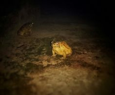 Ahh okay think I am liking it...though its creepy for me,,but still have to capture..  #amphibians #angrylook #creepy #beautiful #