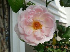 Sharifah Asma rose