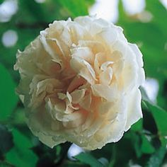 Mme Alfred Carrière - an old rose - grows and blooms passably in shade (better w more sun)
