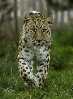 Amur Leopard by colinlangford1 #animals #animal #pet #pets #animales #animallovers #photooftheday #amazing #picoftheday