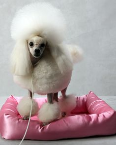 Angel the Toy Poodle at the Westminster Dog Show. (Photo: Fred R. Conrad/The New York Times)