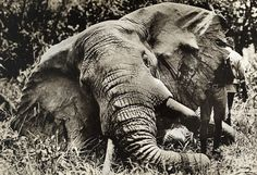 NOTHING NEW Beginning in the 19th century, European and American demand for ivory products—everything from billiard balls to piano keys—soared. This photograph from 1912 shows a bull elephant that was killed in a hunting expedition. PHOTOGRAPH BY CARL E. AKELEY, NATIONAL GEOGRAHPIC