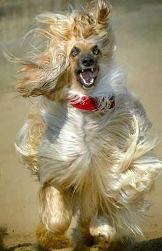 not-so-dignified afghan hound! Vida Animal, Mundo Animal, Funny Dogs, Funny Animals, Cute Animals, Beautiful Dogs, Animals Beautiful, I Love Dogs, Cute Dogs
