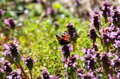 Farfalla nel mese di Marzo .