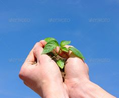 Growing  plant ...  background, blue, branch, care, cloud, concept, creative, dirt, earth, finger, fresh, garden, grass, green, grow, growing, growth, hand, holding, human, idea, isolated, leaf, life, light, little, metaphor, nature, new, plant, protection, sky, small, soil, spring, success, summer, symbol, tree, white, young
