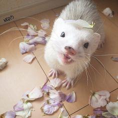 . . . I am not a raccoon dog. It is a ferret👶🏾🍂hahaෆ̈ . . 頭に花びら置いても僕はタヌキじゃあないから変身できないってばさー😛🍂🌀 僕はお色気の術しかできないってばさ👶🏾うふん💙 . . . セリアの🐤浮き輪あったーっ♬ みんな買いに行ったかなっ😆 #ferret#ferrets #ferretgram #ferretlife #babyanimalstagram#ferretism #instaphoto#animal#animals #cuteanimalsco#animaladdicts#animalsco #pet#pets #petstagram #cutepetclub #cute#kawaii #adorable #instagramjapan#instagood#instanature #nature #instacute #instaanimal #instalook #instapet#フェレット#小動物#ふわもこ部