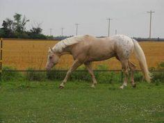 STRAWS MIGHTY MAGNUM, Appaloosa Stallion at Stud in Grassy Butte, North Dakota - Appaloosa Horses for Sale, Appaloosa Horse Classified Ads, Appaloosa Stallions at Stud, - Appaloosa Horse Club