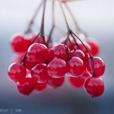 viburnum opulus berries