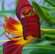 Daylily...love them in my Southern garden.