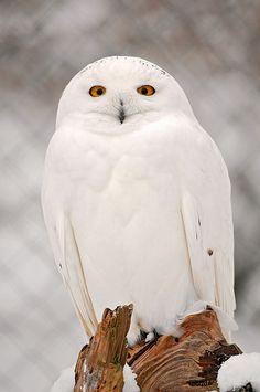 # Winter snowy owl #owls #birds