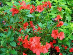 Autumn Embers Encore Azalea- these are the ones we planted, i love the color!