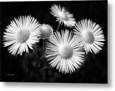 Daisy Flowers Black And White Metal Print by Christina Rollo.  All metal prints…