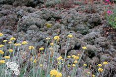 Elicriso (Helichrysum italicum) e Stereocaulon sul Vesuvio (ph Umberto Saetta)