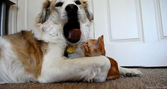 40 Greatest Dog videos- for when you need something to smile about. 20. This yawning dog and his cat.
