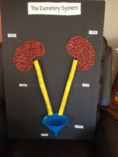 Excretory System project 5th grade! My daughter used a funnel for the bladder, foam pipe insulation for the ureters (wrapped in duck tape, and kidney beans for the kidneys!