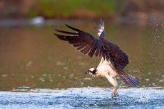 "Photo ""Osprey-Splash"" by JestePhotography"