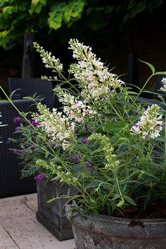 Flowers JULY-OCT -  butterfly bush, Free Petite Buddleja 'Free Petite 'Snow White' (PBR)'