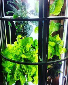 #towergarden #aeroponics #aeroponicgardening #towergardenofficial #growyourownfood #igrowfood #vitaminc #cleaneating #Charlotte #charlottefarmer #charlottencfarmer #life #growth #growsomethinggreen #sustainable #organic #locallygrown #hydroponics #iwanttobeafarmer #lettuce #kale #chard by pinkstemfarm