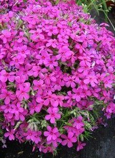 Törpe lángvirág, vegyes színekben, Phlox douglasii fajták