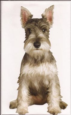 This is one good looking Schnauzer!