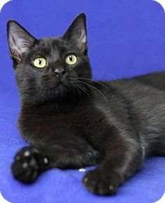 Blackwood, NJ - Domestic Shorthair. Meet Shayla, a cat for adoption. http://www.adoptapet.com/pet/17297610-blackwood-new-jersey-cat