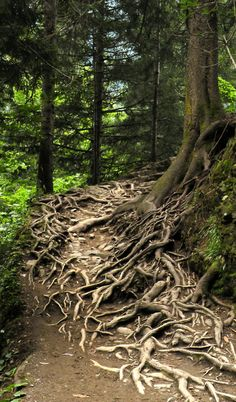 Baumwurzeln im Wald . Tree roots in the forest Mother Earth, Mother Nature, Old Trees, Tree Roots, Nature Tree, Tree Forest, Jolie Photo, Belleza Natural, Tree Of Life