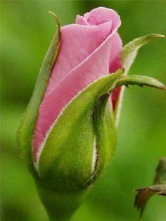 pink rose bud for my little rachel...ms rose bud