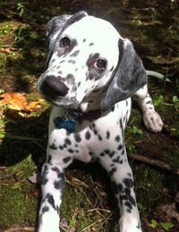 Oliver the Dalmatian puppy - cute