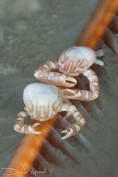 Porcelain crabs, Komodo Island, Indonesia