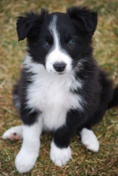 Border Collie Reminds me of my little one - wish she was still with me - Hund - Dogs Cute Dogs And Puppies, I Love Dogs, Pet Dogs, Dog Cat, Doggies, Border Collie Puppies, Collie Dog, Blue Merle, West Highland Terrier