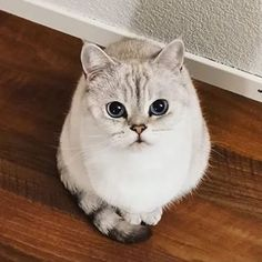 Precious Little Bean - PigeonCorp British Shorthair, Secret Obsession, Favorite Person, Cuddling, Beans, Photo And Video, Cute, Animals, Instagram
