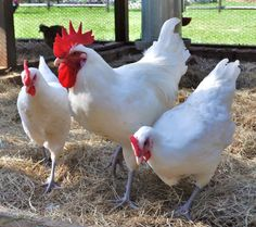 Blue-legged Bresse chickens of France. Red, white, and blue.