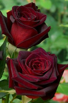 Hybrid tea roses – Home Decor Gardening Flowers Pretty Roses, Beautiful Roses, Amazing Flowers, Love Flowers, Special Flowers, Exotic Flowers, Purple Flowers, White Flowers, Rose Meilland