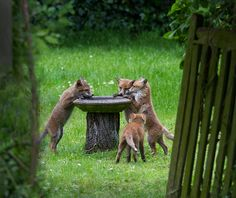 "magicalnaturetour: "" Foxes at the birdbath by Hazel Byatt """