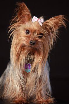 Betty Boop Yorkie Dog